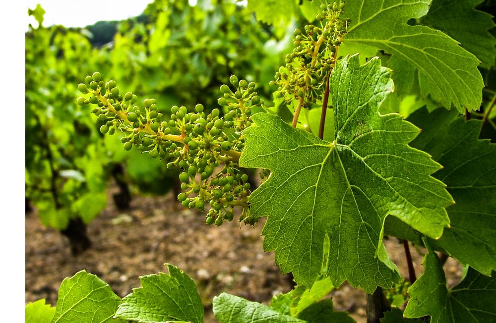 La maturation de la vigne, appelée nouaison.
